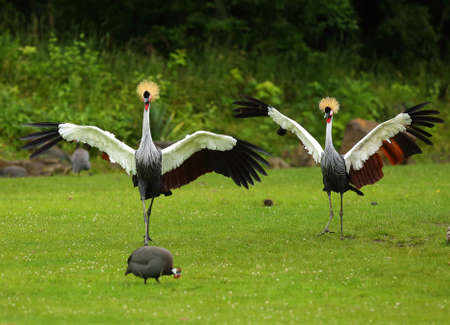 Two gray crowned cranes (Balearica regulorum), also known as the African crowned crane, golden crested crane, on the greaan grass with open wings. Green background.