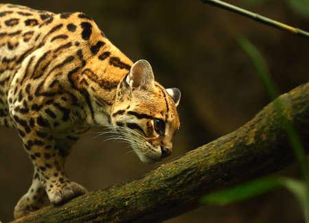 American spotted cat (Leopardus pardalis)