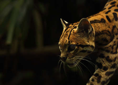 The American spotted cat (Leopardus pardalis) walking on the branch. Dark background. American spoted cat detail, portrait. Brown background.