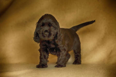 Beautiful and cute black English Cocker Spaniel puppy staying on the sofa. Morning. yellow background. Detail. Portrait. Reklamní fotografie