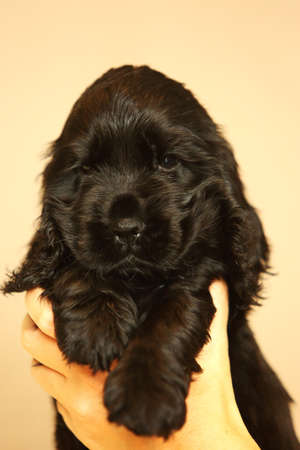 Beautiful and cute black English Cocker Spaniel puppy in a humens hand. Morning. yellow background. Detail. Portrait. Reklamní fotografie
