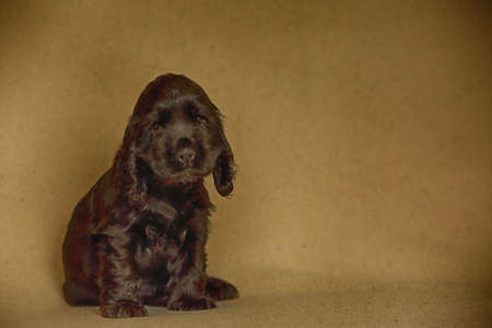 Beautiful and cute black English Cocker Spaniel puppy sitting on the sofa. Morning. yellow background. Detail. Portrait. Reklamní fotografie
