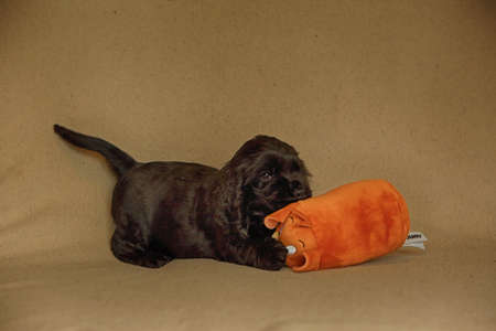 Beautiful and cute black English Cocker Spaniel puppy playing on the sofa with a stuffed toy. Morning. yellow background. Detail. Portrait.