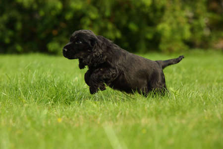 Amazing, newborn and cute black English Cocker Spaniel puppy detail. Small and cute black Cocker Spaniel puppy running in the green grass, morning sun. Green background.