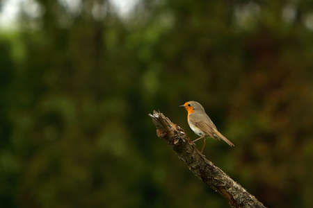 The European Robin (Erithacus rubecula) sitting on the old brown branch. Small european songbird. Dark background.