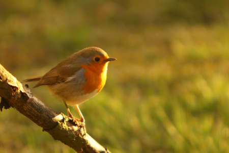 The European Robin (Erithacus rubecula) sitting on the old brown branch. Small european songbird in morning sun .. Green background.