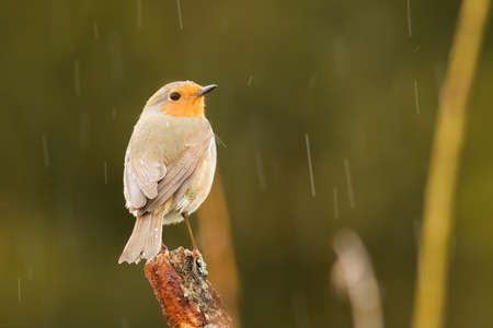 The European Robin (Erithacus rubecula) sitting on the old brown branch in the raining day. Small european songbird. Green background.