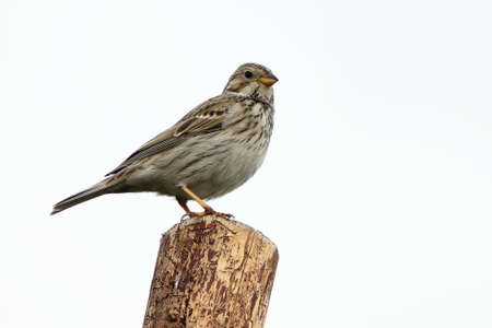 The corn bunting (Emberiza calandra) sitting on the grean branch. Not common, but very rear big songbird. White sky in the background.