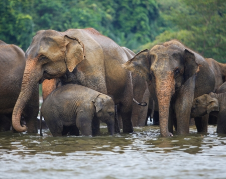 elephant family in water, Pinnawala, Sri Lanka photo
