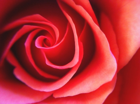 closeup: Red rose flower closeup