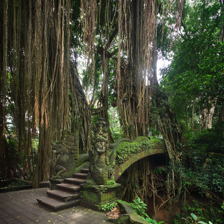 banyan tree: Bridge in Ubuds Monkey Forest Sanctuary with huge old tree with log roots and branches, Bali, Indonesia