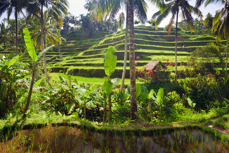ubud: Terrace rice fields in Tegallalang, Ubud on Bali, Indonesia.