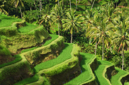 paddy fields: Terrace rice fields in Tegallalang, Ubud on Bali, Indonesia.