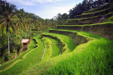 Terrace rice fields in Tegallalang, Ubud on Bali, Indonesia.