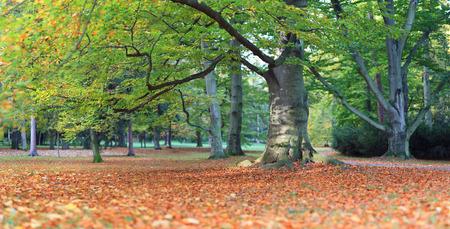 panorama di grande vecchio albero di faggio in autunno parco nel sole del mattino Archivio Fotografico