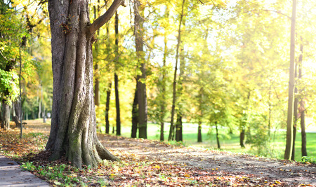 lensflare: panorama of old tree in autumn park full of sun light with lens flare Stock Photo