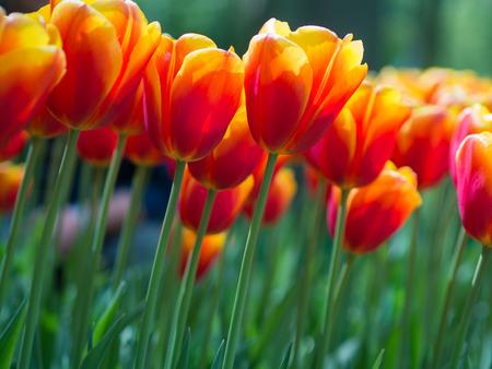 Mooie rode en gele tulp bloemen in de tuin met onscherpe achtergrond, Keukenhof, Nederland Stockfoto