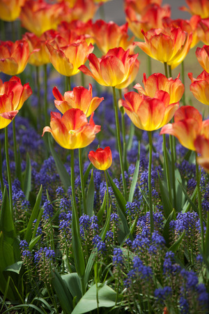 red tulip: Beautiful yellow and red tulip flowers in garden with blurred background, Keukenhof, Netherlands