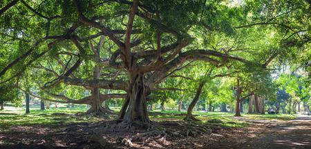gardens: Ficus benjamina with long branches in botanical Garden of Peradeniya, Kandy, Royal Botanical Gardens Stock Photo