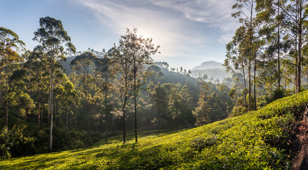 Beautiful panoramic view of a typical tea plantation in Sri Lanka, Asia