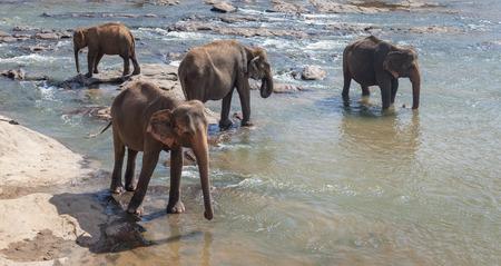 take a bath: Elephant family take a bath in the river, Pinnawala, Sri Lanka, Asia Stock Photo