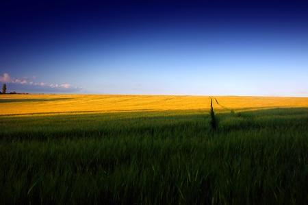 way in wheat field under clear blue sky photo