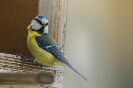 cyanistes: Cyanistes caeruleus sitting on the bird house.