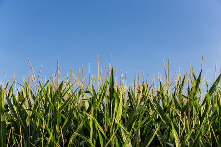 geen: Background image of geen corn field against blue sky in late summer. Stock Photo