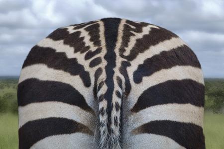 Bottom of a zebra with stripes in savanna, background. photo