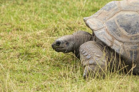 endangered: Turtoise, Dipsochelys Gigantean, beautiful long-lived endangered animal.