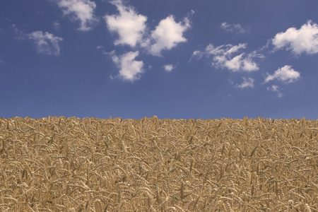 clean environment: Corn field in the middle of summer. Concept of summer season, sustainable lifestyle and clean environment.