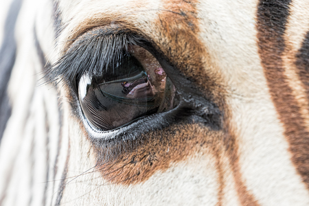 Close-up of zebra eye with a reflection of another zebra and visitors of the zoo. Stock Photo