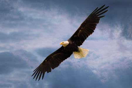 American eagle flying over dramatic sky with wide open wings.