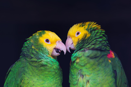 Two colorful parrots in friendly talk, Amazona ochrocephala oratrix, portrait. Standard-Bild