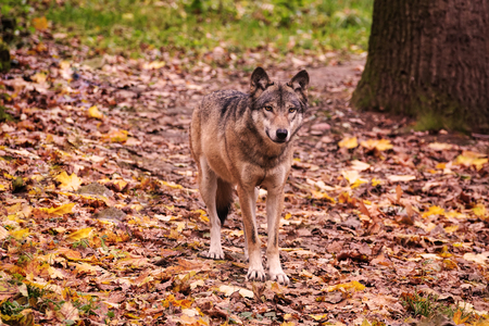Wolf in autumn forest, wilderness