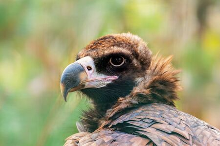 Bird portrait, a vulture