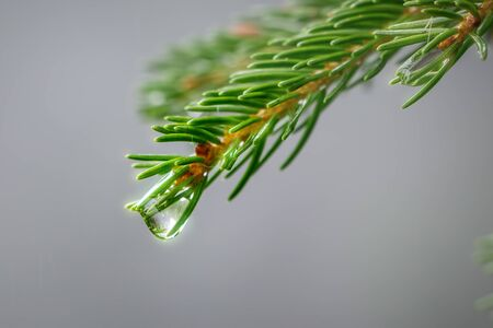 Close-up picture of small conifer branch with glittering drop of water, concept of pure clean nature