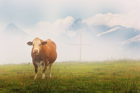 Alpine cow on rich meadows at Austrian Alps in summer in milky fog with wooden cross