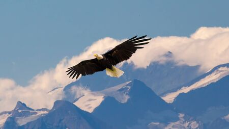 Bald eagle flying and gliding slowly and majestic on the sky over high mountains. Concept of wildlife and pure nature. Standard-Bild