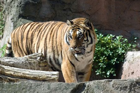 catlike: a tiger in the zoo in rome