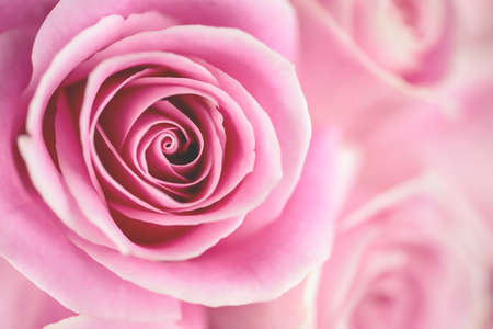 Macro shot of a pink rose with a shallow depth-of-field (DOF) photo