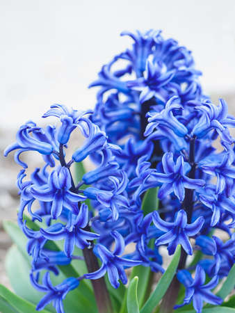 hyacinthus: Macro view of blue jacket flowers (Hyacinthus orientalis) on bark (Shallow DOF) Stock Photo
