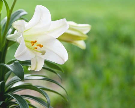 flowers field: White lily flowers with green grass background Stock Photo