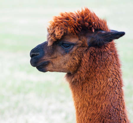 Brown alpaca on country ranch, field background photo