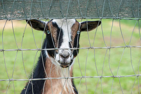 pygmy goat: Closeup view of a brown black and white pygmy goat behind a steel fence Stock Photo