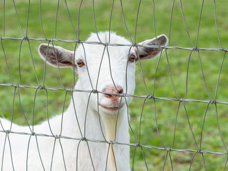 pygmy goat: Closeup view of a white pygmy goat behind a steel fence