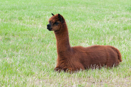 Brown alpaca lounging in green rural country field photo