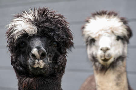 barn black and white: Pair of black white and rose gray alpacas on a dark blue barn background.
