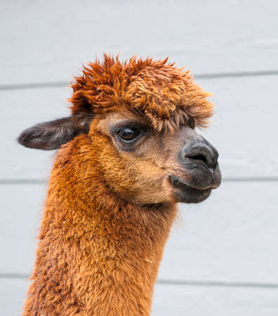 Brown alpaca against a dark blue barn background photo