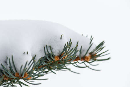 pine tree needles: Green pine tree needles and branch with snow isolated background shallow DOF